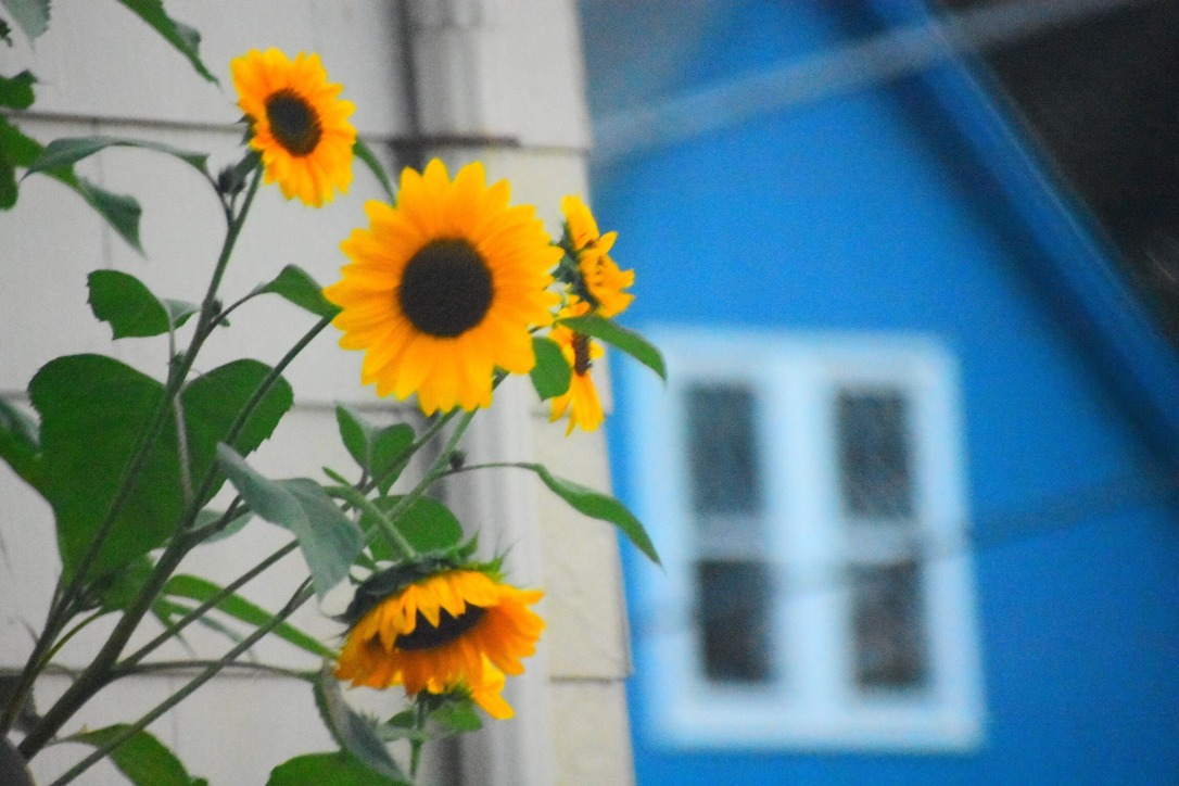 Sunflowers, yellow, vivid, flowers, spring, summer, fall